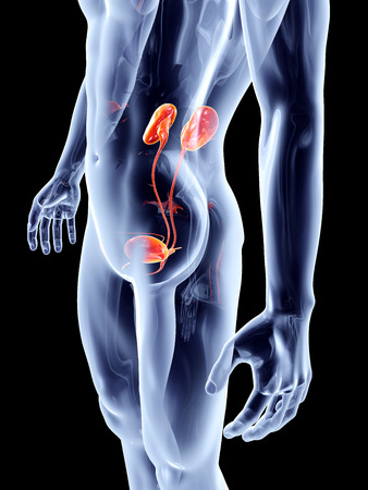 The human urinary system. 3D rendered anatomical illustration. illustration