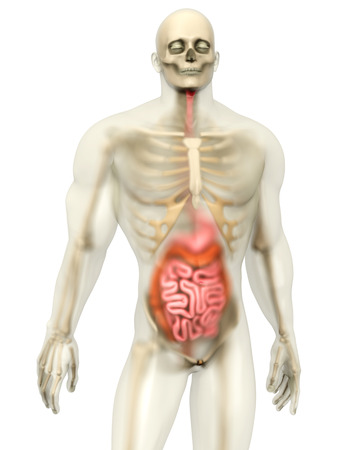 colonic: 3D visualization of the human anatomy. The digestive system in a semi transparent male body isolated on white.