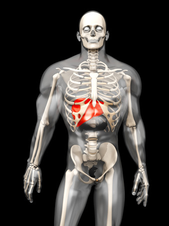3D visualization of the human anatomy. The Liver in a semi-transparent adult male body. photo