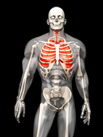 respire: 3D visualization of the human anatomy. The Lungs in a semi-transparent adult male body.