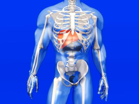 Super Visualisation 3D De L'anatomie Humaine. Le Foie D'un Adulte Mâle  QW99