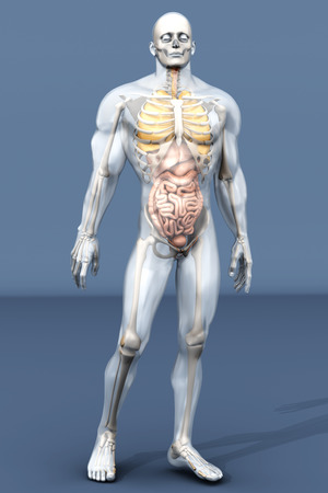 diverticulitis: 3D visualization of the human anatomy. The Internal Organs in a semi transparent male body.