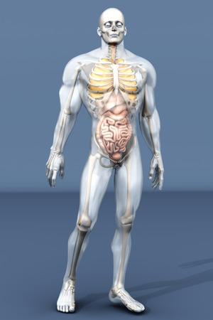 ileum: 3D visualization of the human anatomy. The Internal Organs in a semi transparent male body.