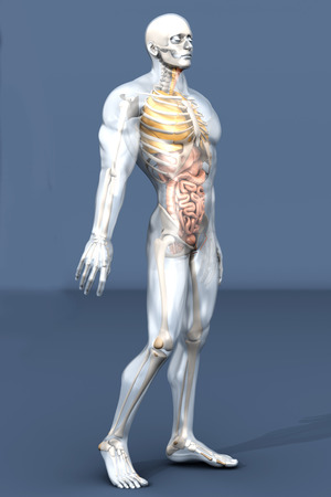 irritable bowel syndrome: 3D visualization of the human anatomy. The Internal Organs in a semi transparent male body.
