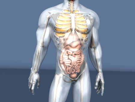 ileum: 3D visualization of the human anatomy. The Internal Organs in a semi transparent male body.
