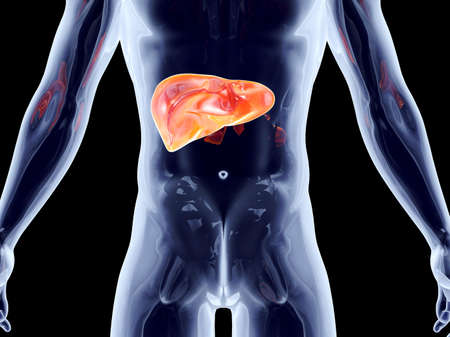 hepatic: The Liver. 3D rendered anatomical illustration.
