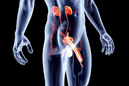 genitals: The human urinary system with male genitals. 3D rendered anatomical illustration.
