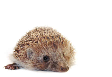 Amazing little hedgehog isolated on white . With large area for your text. photo