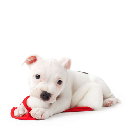 staffordshire: Staffordshire bull terrier puppy playing with red santa hat