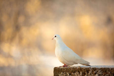 White dove Stock Photo - 6577292