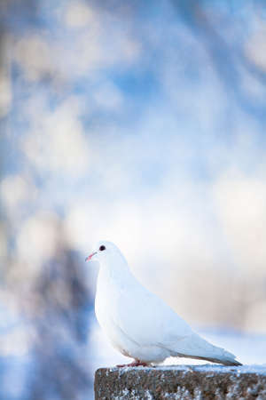 White dove Stock Photo - 6577286
