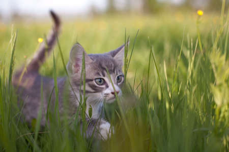chasing tail: Little kitten walking in grass