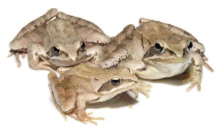 European common brown Frog family photo