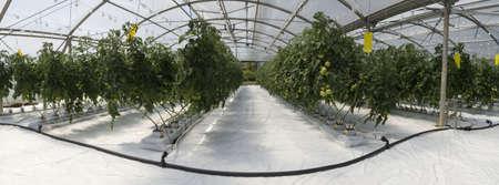 kassen: Hydroponic teelt van tomaten in de kas Stockfoto