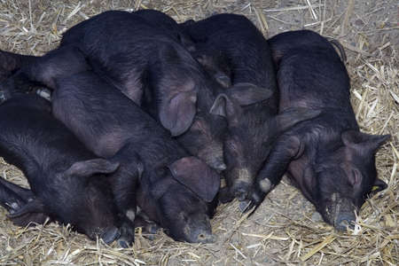 unconcerned: Young black pigs sleeping on the straw