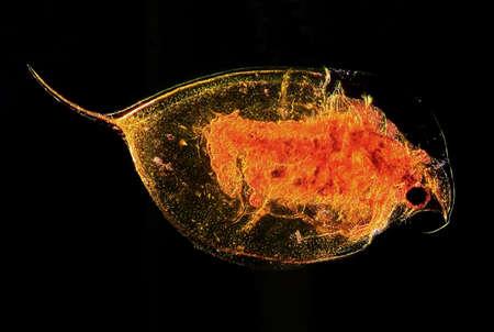 plankton: Enfoque completo microscopic imagen de pulgas de agua de plancton Daphnia al microscopio de contraste