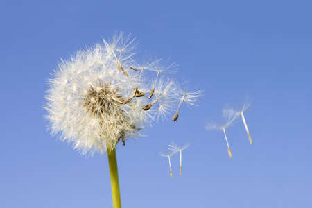 detach: Dandelion offspring detached by the wind isolated on blue sky background Stock Photo