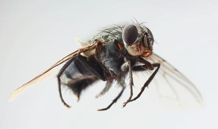 housefly: Macro Shoot of Domestic Housefly