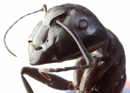 extreme macro: Black Garden Ant Low Scale Magnification Stock Photo