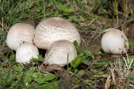 agaricus: Ripe Field mushroom on the Meadow, Agaricus campestris