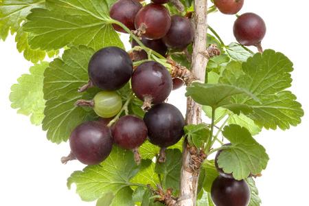 grosella: Negro Planta espinosa Velvet aisladas sobre fondo blanco