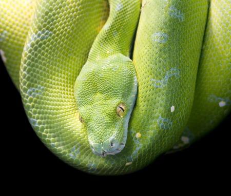 viridis: Green Tree Python, Morelia Viridis