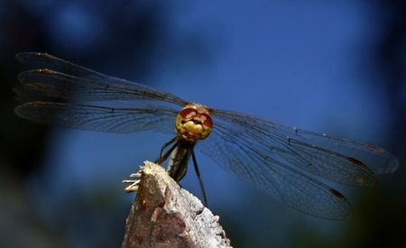 anisoptera: DragonFly Posing on the Branch