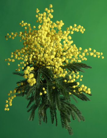 mimosa: Bouquet of Silver Wattle Isolated on Green