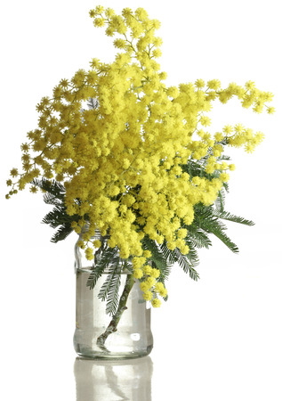 mimosa: Bouquet of Silver Wattle Isolated on White