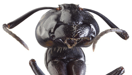 arthropoda: Low Scale Magnification of Black Ant Stock Photo