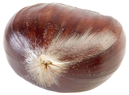 castanea sativa: Chestnut Castanea Sativa Isolated on White Background