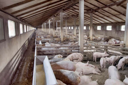 hog: Big Hog Breeding Pig Farm Stock Photo