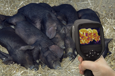 Checking Temperature of Piglets for Swine Flu photo