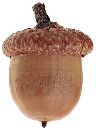 acorn nuts: Ripe Dry Acorn Isolated on White Background