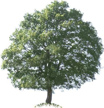 oak tree: Oak Tree Vector Illustration Cutout