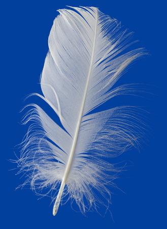 pluma blanca: Pluma blanca aislada sobre fondo azul