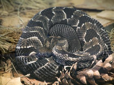 serpiente de cascabel: Maderas de cascabel, Crotalus Horridus Horridus