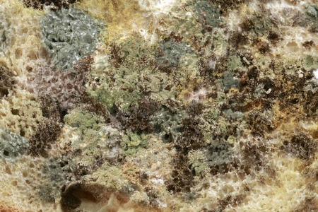 mildewed: Black Bread Mold Rhizopus Stolonifer