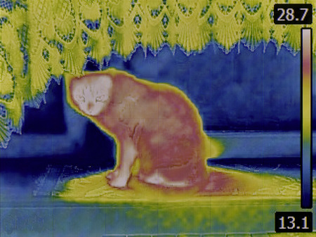 thermogram: Thermal Image of Domestic Cat