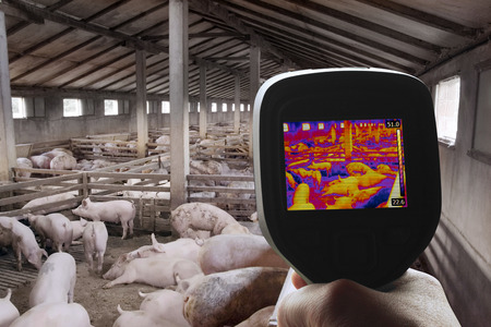domestic animals: Swine Flu Detection with Thermal Camera Stock Photo