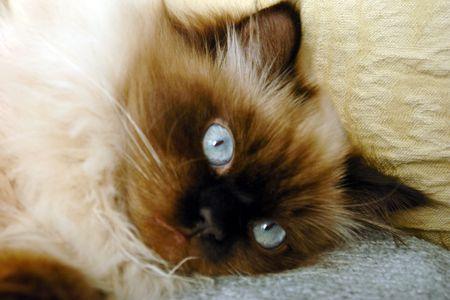 occhi sbarrati: vicino dettaglio del sigillo punto himalayano gatto, che stabilisce con gli occhi ben aperti
