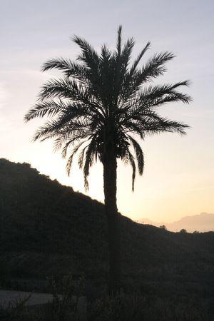 palmtree silhouet