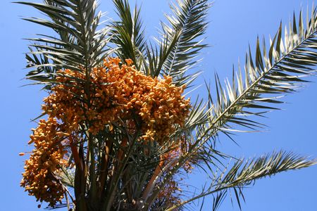 palm with fruits
