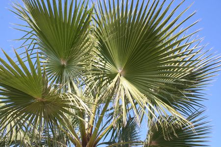 palmleaves