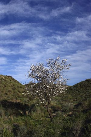 almond tree with white blossoms in sunny landscape Stock Photo