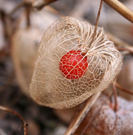 ephemeral: chinese lantern with red seed in wintertime