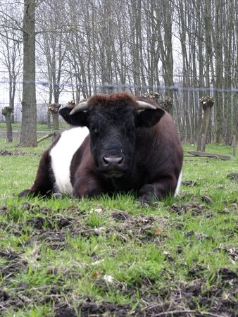 cow laying in green field behind barbwire