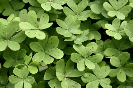 a lot of green clover