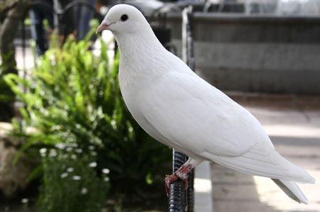 white dove sitting on fence Stock Photo