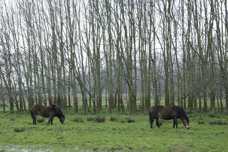 fjord ponies in field Stock Photo